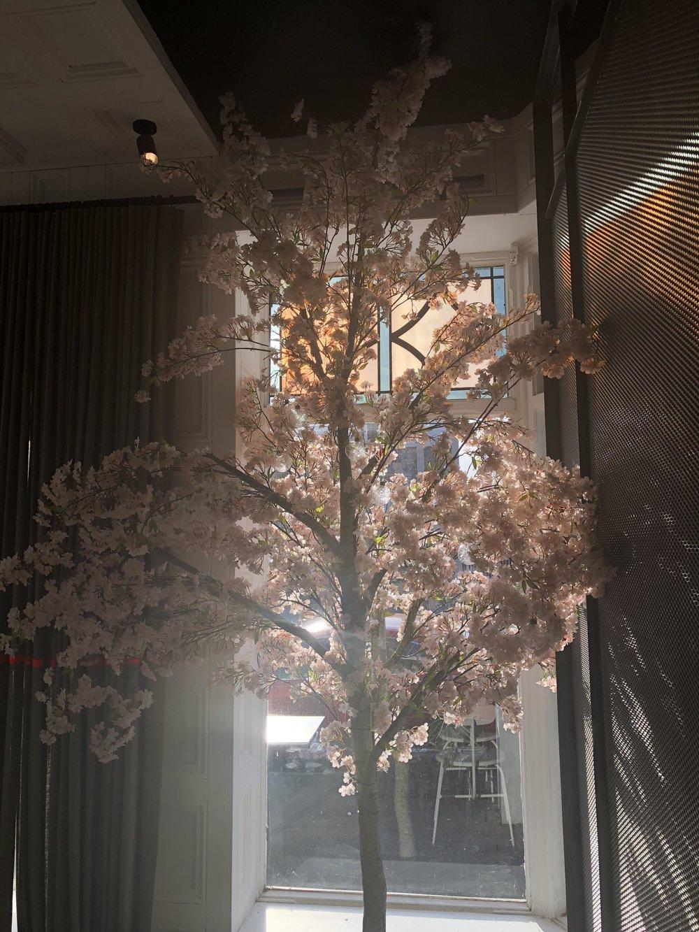 Cherry Blossom Tree Hire -