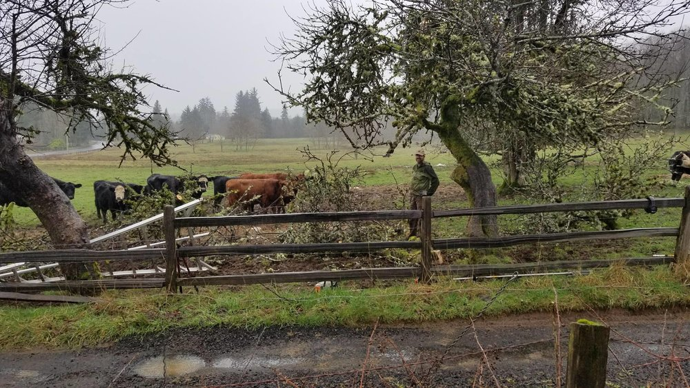 Trees and cows.jpg