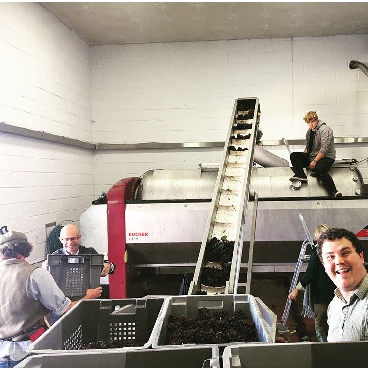 Loading pinot. The conveyor is new this year. Last year it was all loaded by hand!