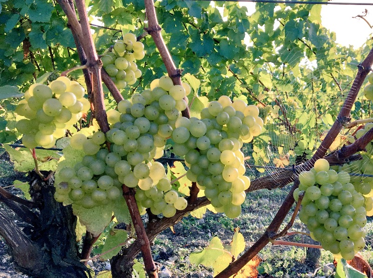 Chardonnay almost ready.