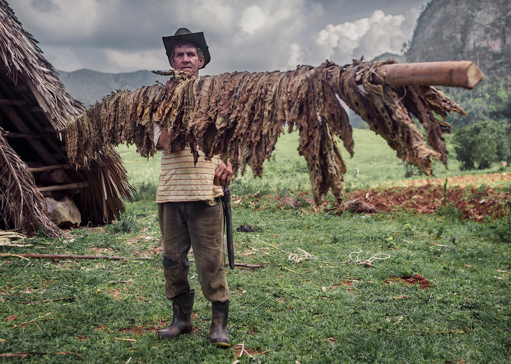 A tobacco farmer holds the stick where he hangs the leaves to let them dry.