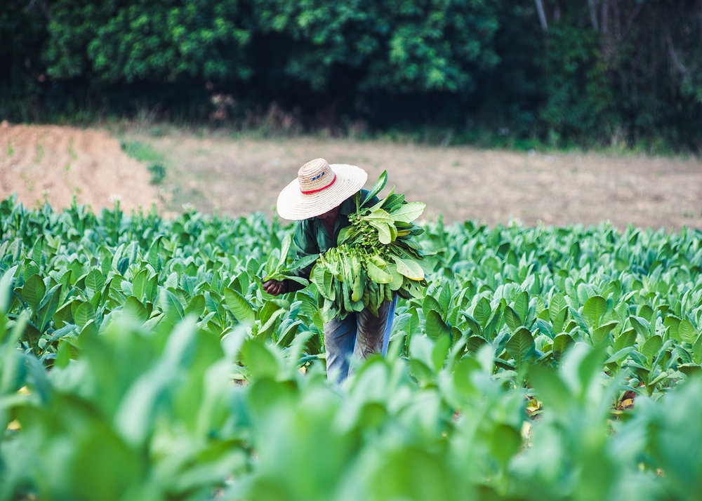 Farmer collecting tobacco leaves at Viñales