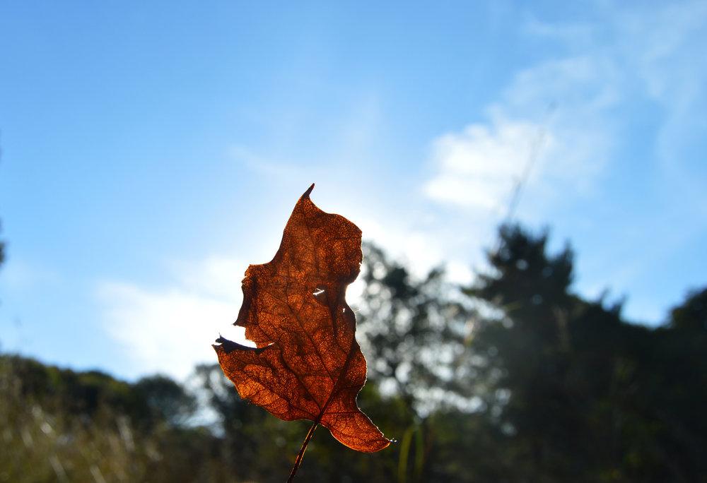 leaf through sun edited.jpg