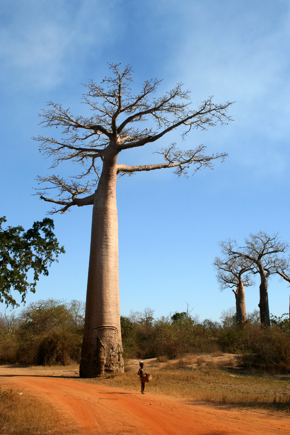 The Baobab and the Boy, Madagascar, 2005