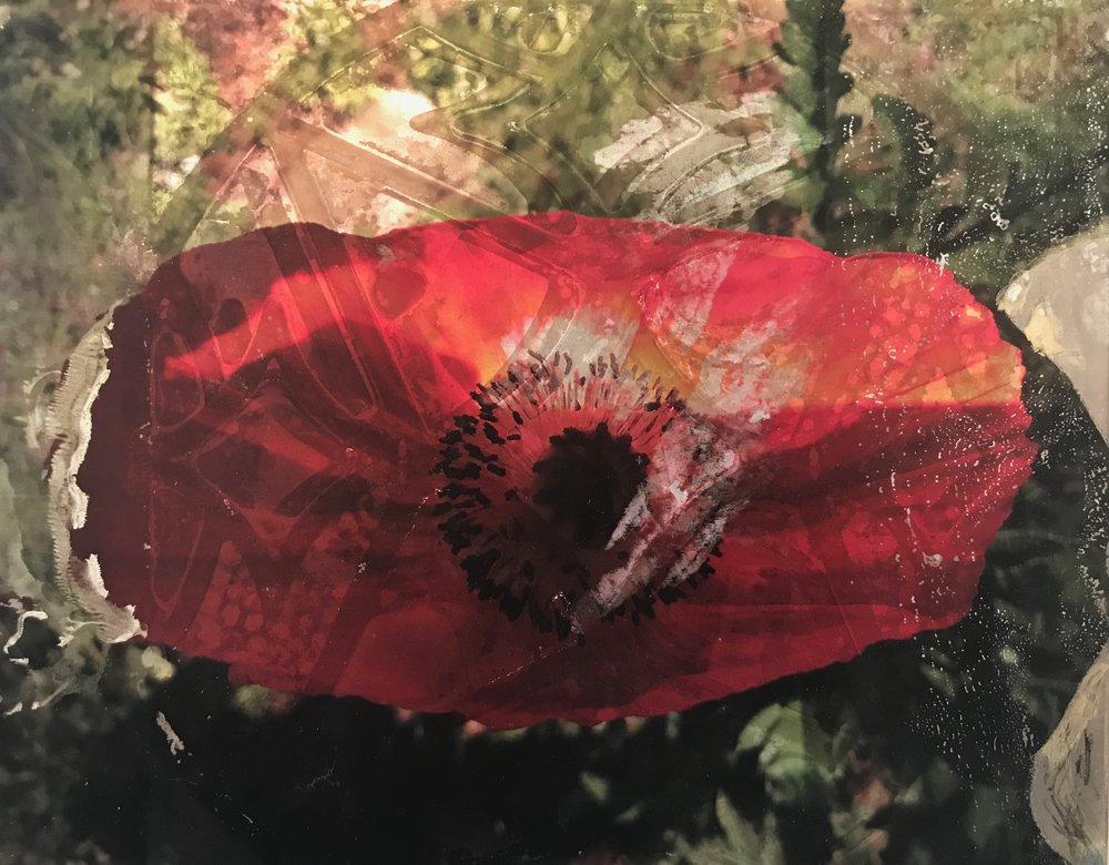 Colorado Poppy