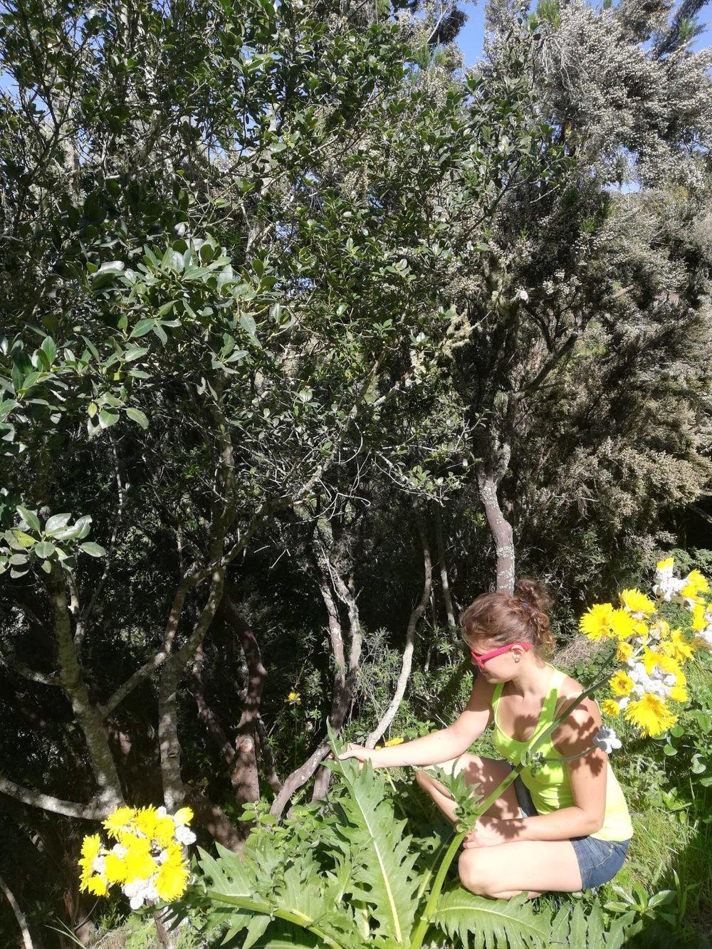 Riesenlöwenzahn - endemisch auf den Canarischen Inseln Teneriffa und Gran Canaria - lat. Sonchus acaulis