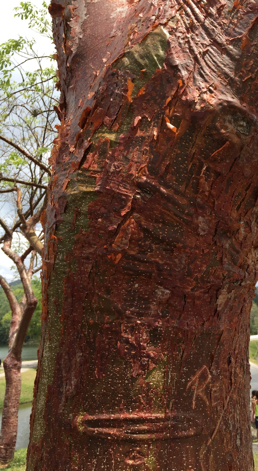 Skin of Cuban Tree