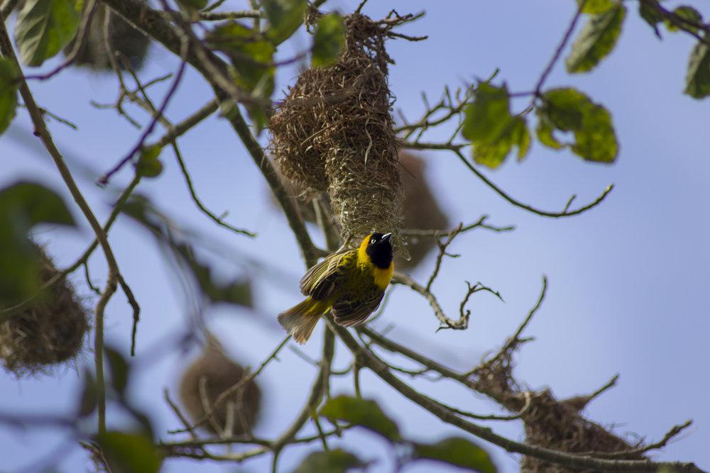Pájaro.amarillo.jpg