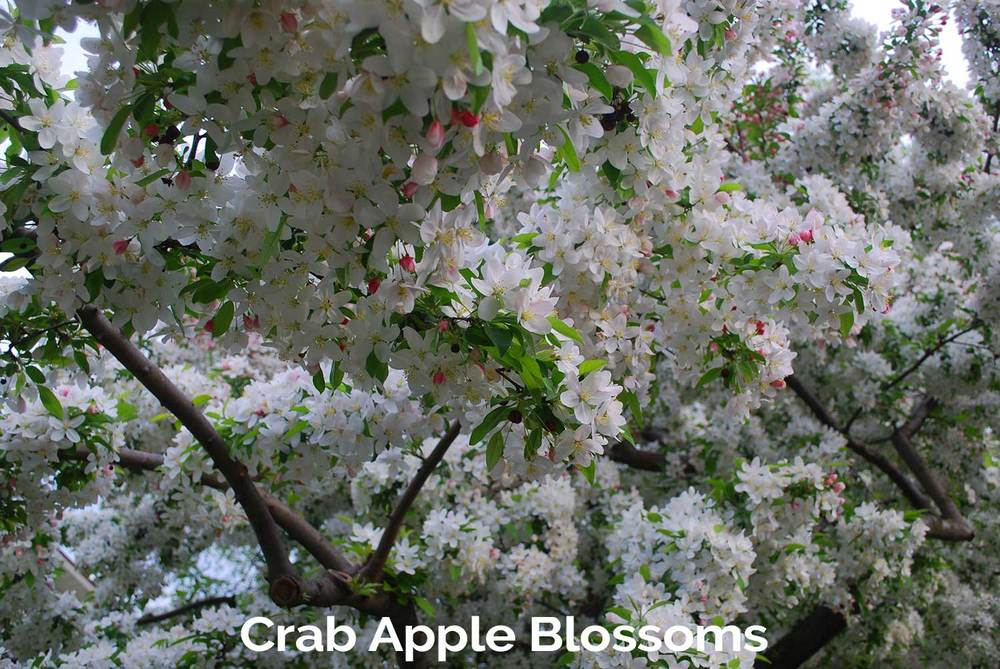 tlg-slide-crab-apple-blossoms.jpg