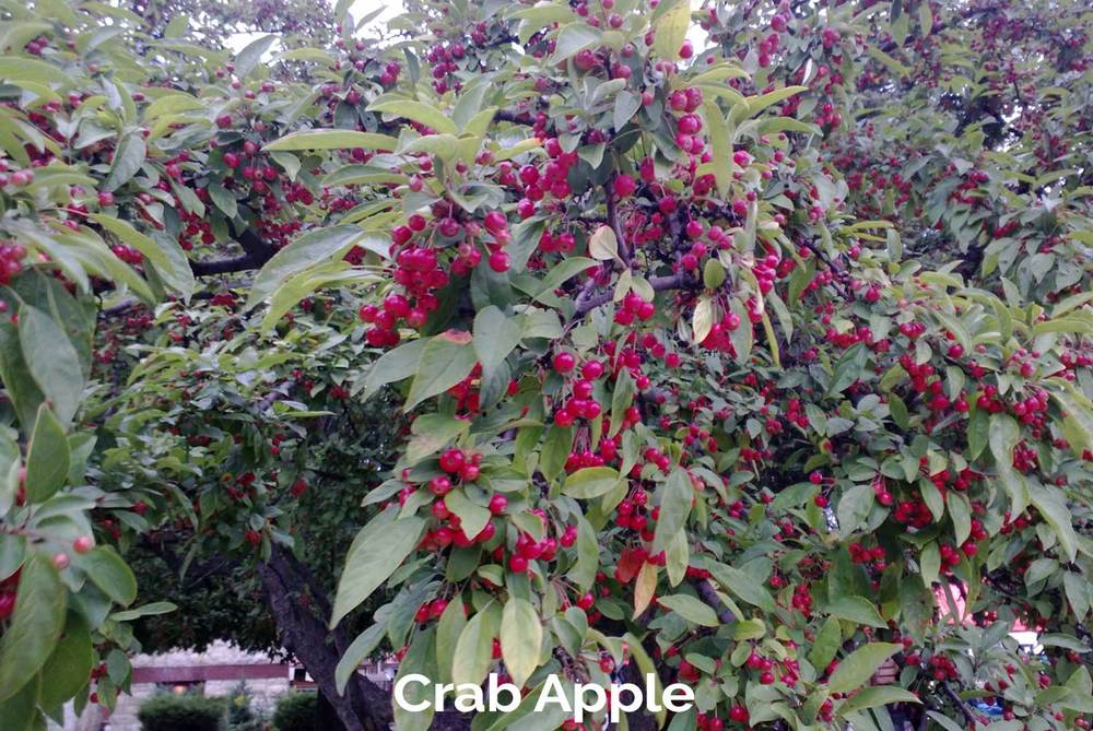 tlg-slide-crab-apple.jpg