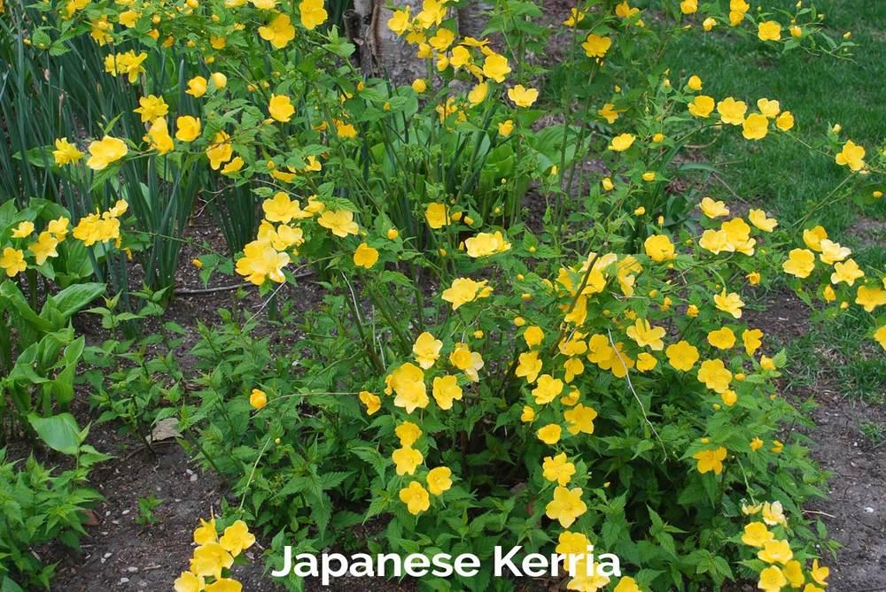 tlg-slide-japanese-kerria.jpg