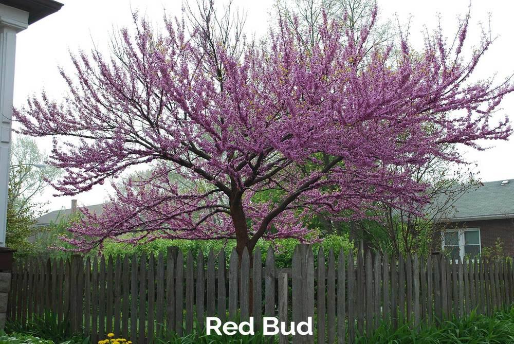 tlg-slide-redbud.jpg
