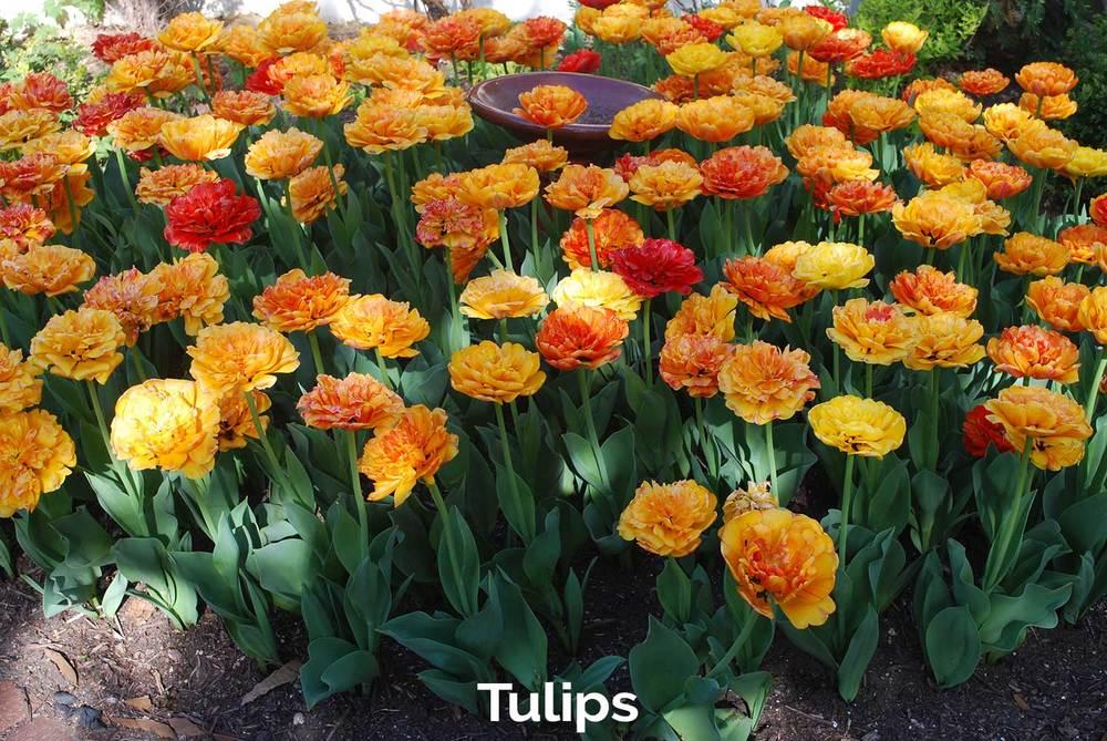 tlg-slide-tulips.jpg