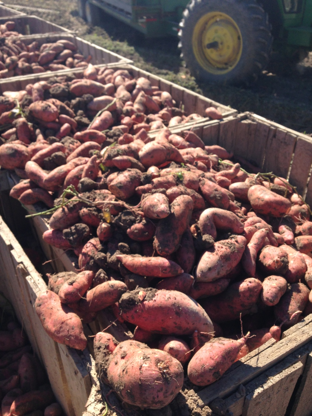Sweet potatoes dug at Alexander Farms in Vardaman, MS with the Standen TSP1900.