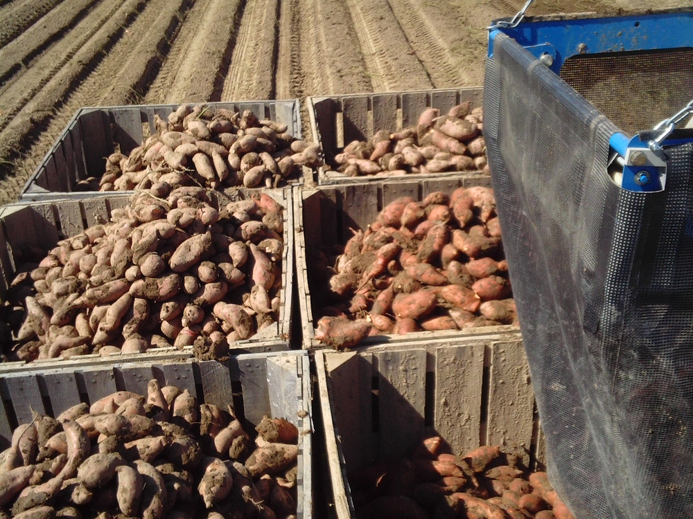 Sweet potatoes dug at Edmondson Farms in Vardaman, MS with the Standen TSP1900.
