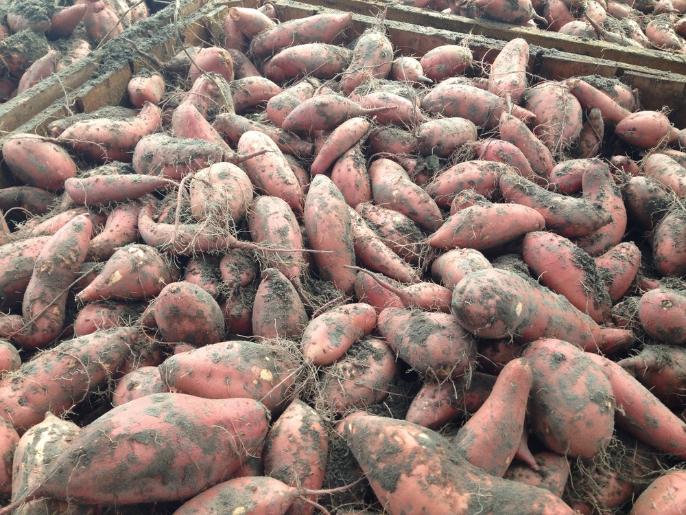 Townsend Farms' (Live Oak, FL) sweet potatoes dug in 2013 using the Standen TSP1900.
