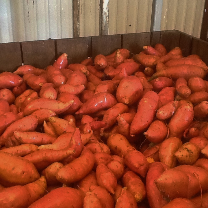 Fresh market sweet potatoes dug at Sandy Ridge Farms in Vardaman, MS.
