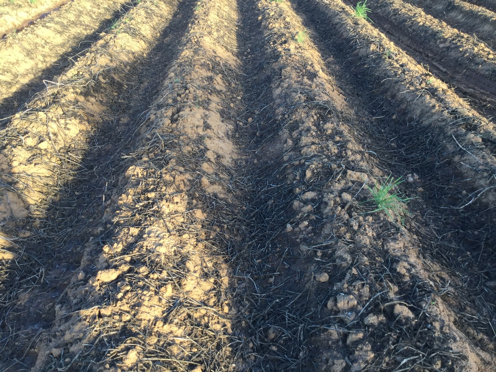 Sweet potato rows four days after being vine snapped at Alexander Farms in 2014.