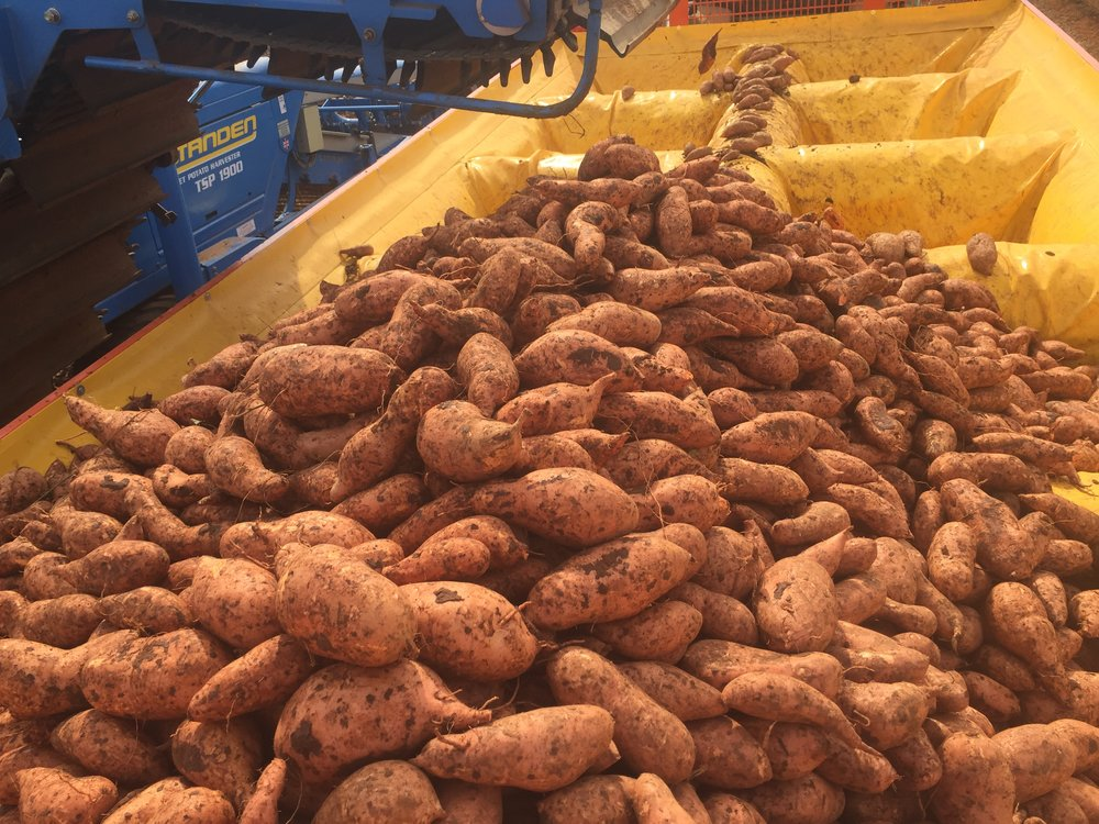 Fresh market sweet potatoes being dug by a Standen TSP1900 and loaded into a Guardian Box Filler trailer.