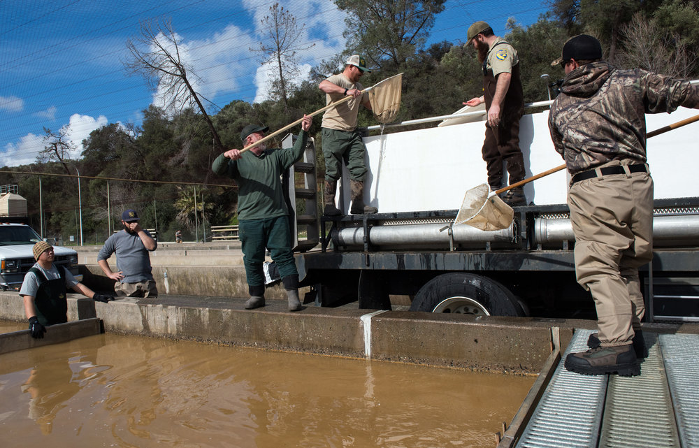 Evacuating Salmon Feather River Hatchery