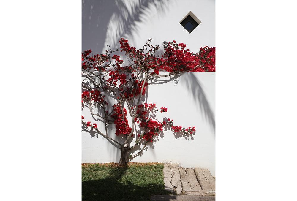 Bugambilia-vermella.jpg