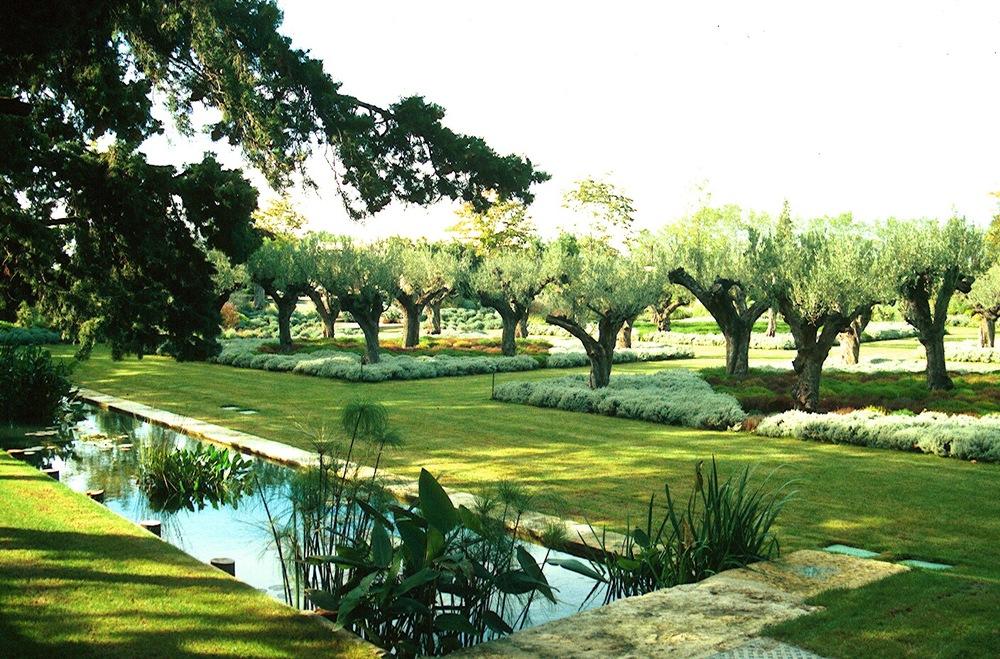Olive trees & Santolinia 2.jpg