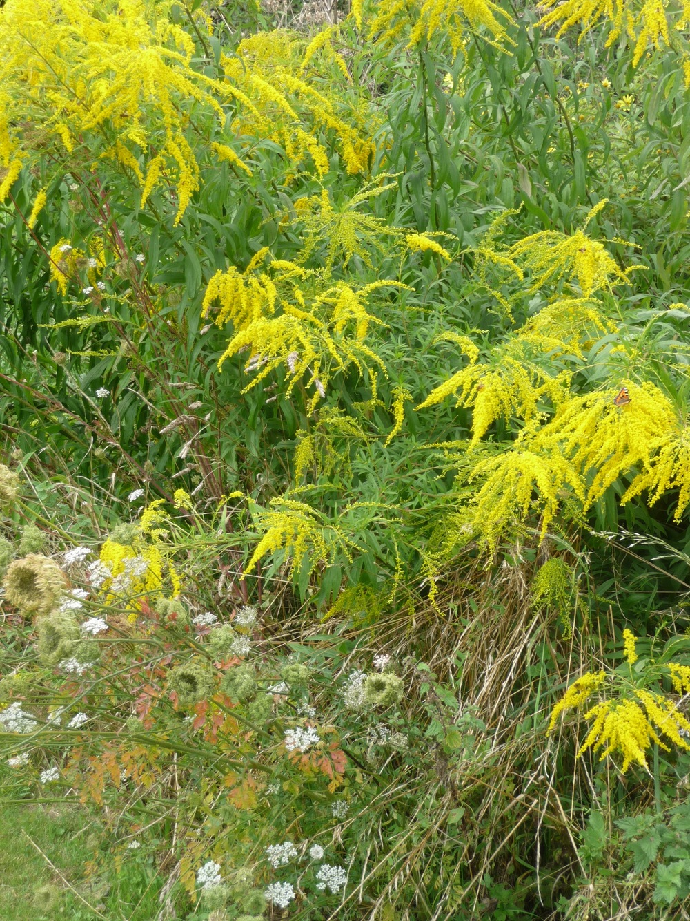 The Gray House Solidago in meadow.jpg