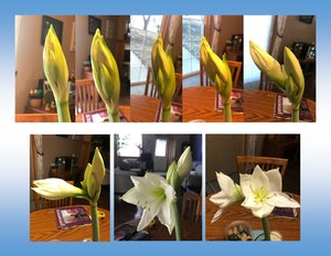 Progress of first Amaryllis - from first day of noticing the opening to the second bloom!
