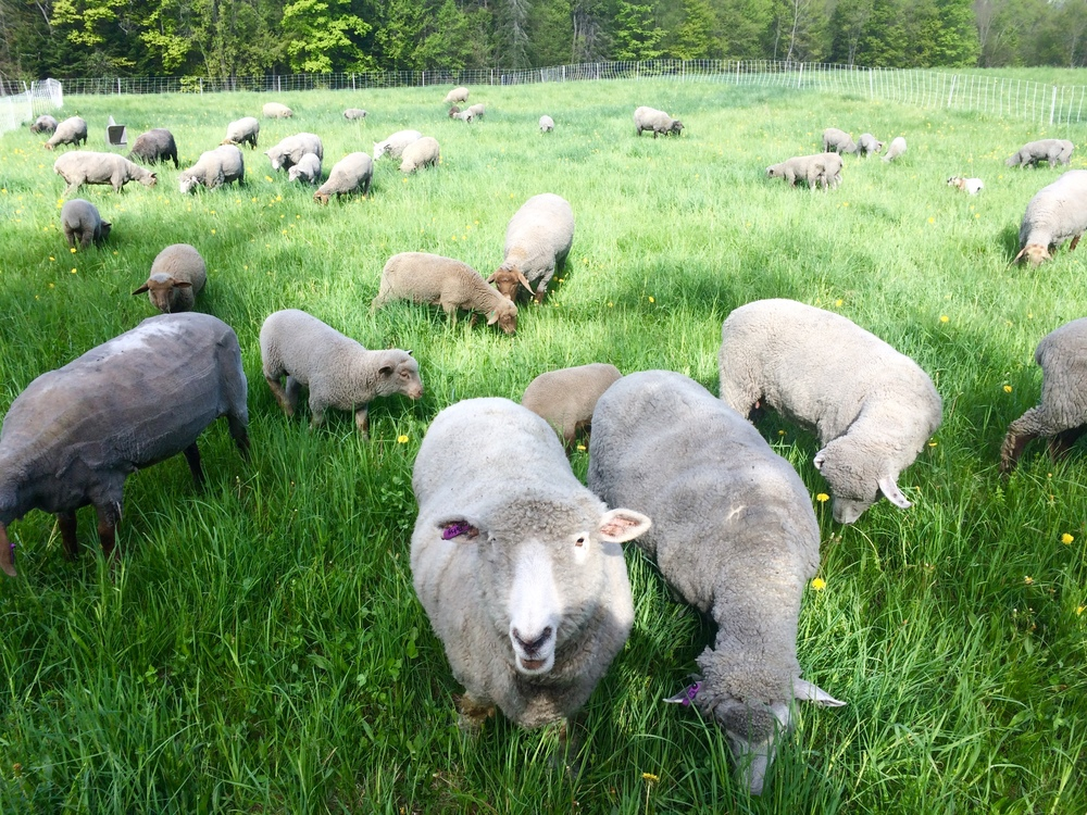 Our pasture raised sheep, all named after country singers.