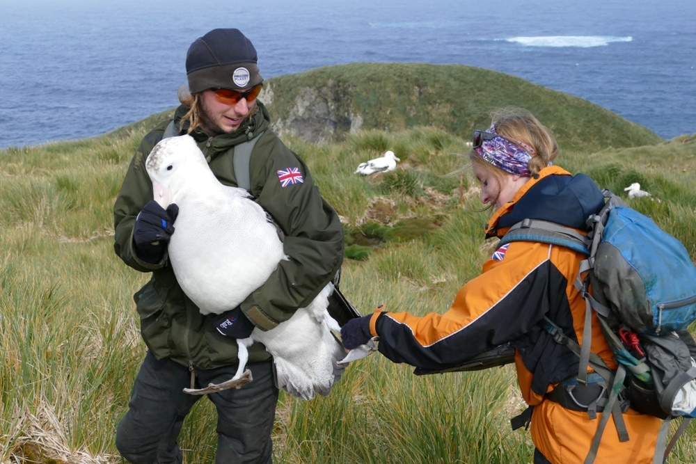 Helping the albatross assistant Lucy putting darvic rings on non-breeding wandering albatrosses. Photo by Tim Morley.