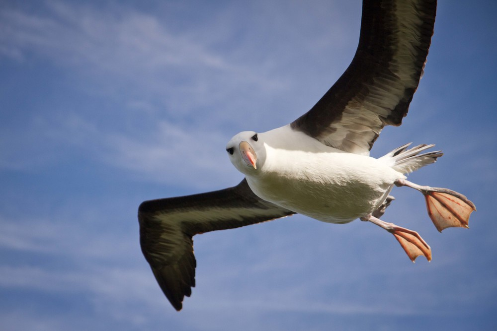 Black=browed albatross.