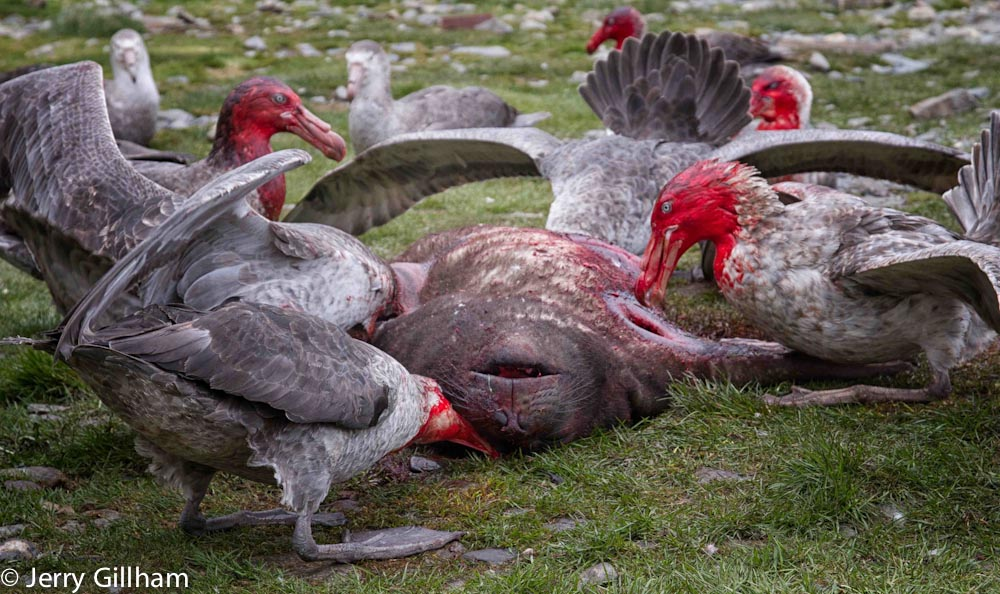 The death of one poor Elephant Seal put means a feast for the Giant Petrels.