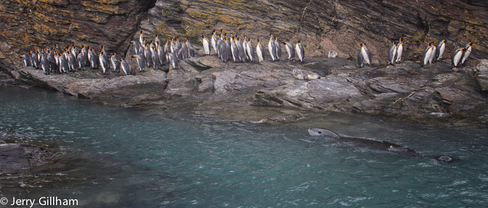 One of the reasons the penguins were so hesitant to enter the water and so keen to emerge in a big group. I saw at least two leopard seals hanging round this patch.