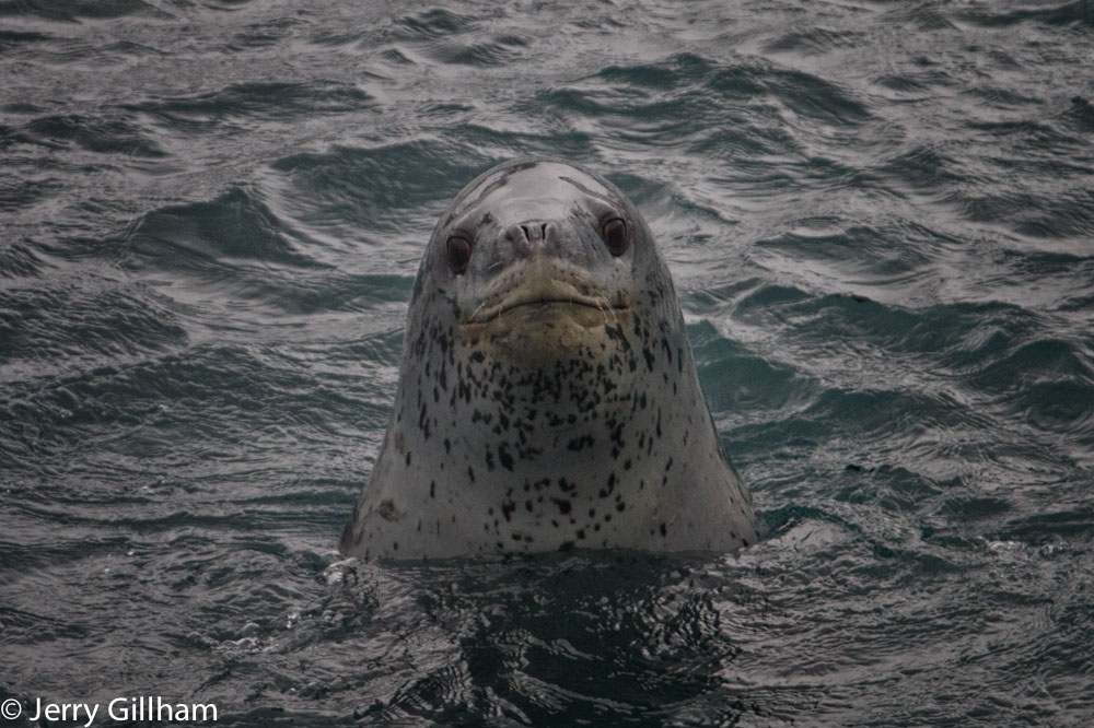 Some of the leopard seals are pretty fearless and equally curious. This one spent a few minutes checking me out from different angles before apparently deciding I wasn't food or going to steal its food and therefore of no interest. Even through I was quite safe on the rocks there's something thrilling about being evaluated by an apex predator.