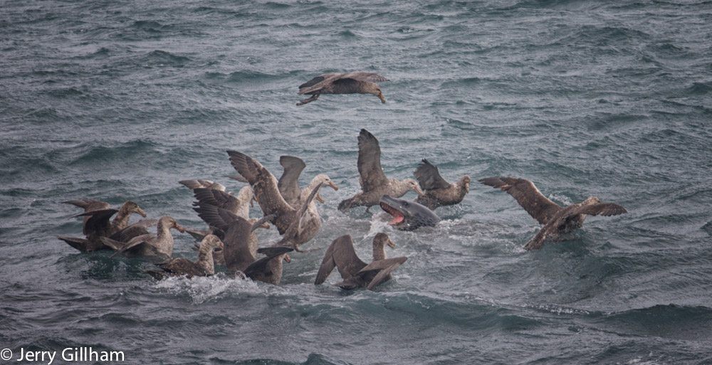 The penguins weren't as safe as me though and we saw a few being thrown about as the leps had a good feed. Always looking for a meal, the giant petrels weren't far off, in fact at times they looked like mere centimetres from the lunging leopard seals huge mouths.