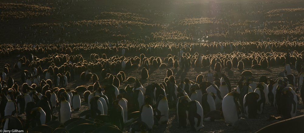 Most of the king penguin chicks were a comparable size to the adults, though still wearing their big, fluffy brown coats that shone gloriously in the late afternoon light.