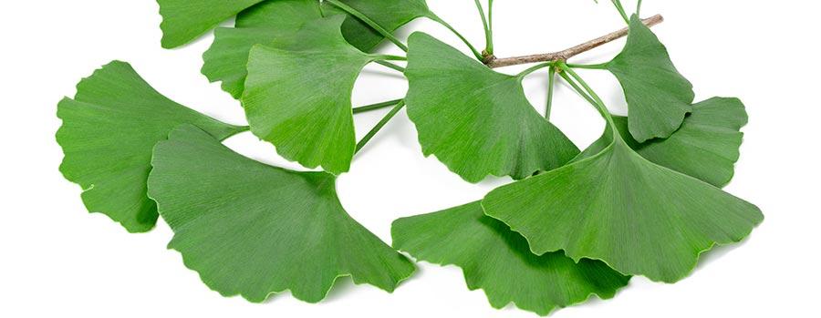 Gingko Biloba Leaf