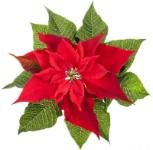 christmas-poinsettia-elena-elisseeva.jpg