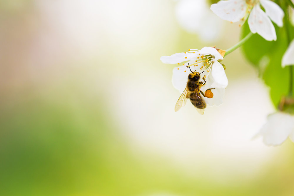 blume Bee Secret - Booming Bees. Because of their strong sense of smell, Honeybees are being trained for bomb sniffing.