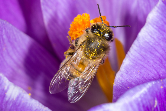 blume Bee Secret - Battle of the Sexes. Drone bees are all male. They do not have stingers and have one role: to mate with the queen. Worker bees are all female. They have stingers and work to gather pollen and nectar.