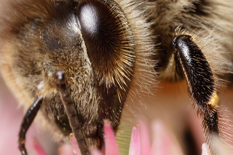 blume bee secret #32 - Its true! Bees have hairy eyeballs.