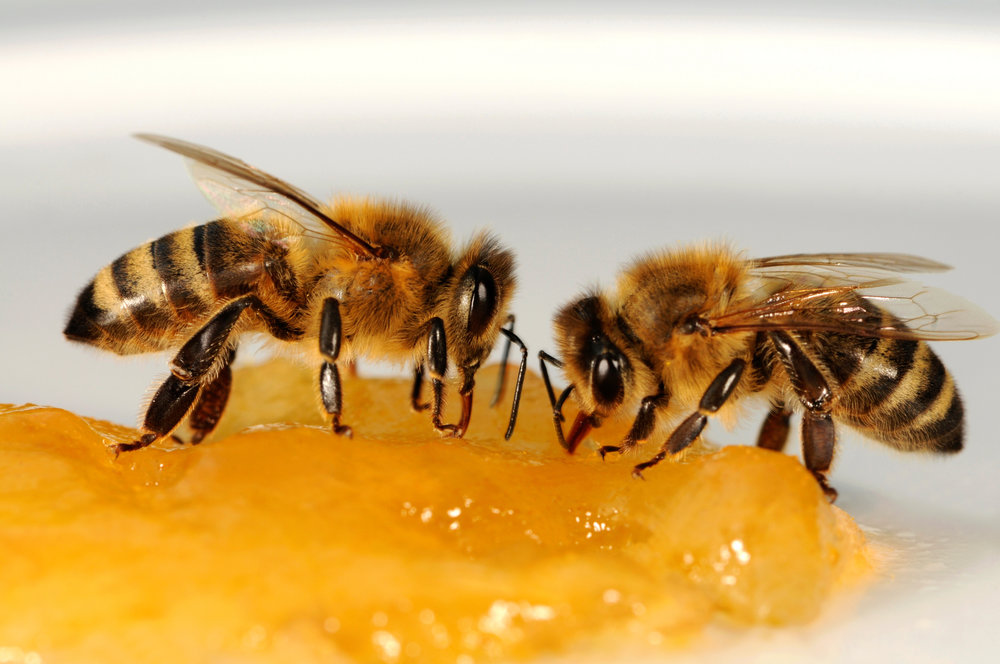 blume bee secret #24 - One way bees prepare for the winter is by gathering a winter reserve of honey. Honeybees head to the hive when temperatures drop into the 50s. As the weather becomes cool, the honeybees gather in a central area of the hive and form a