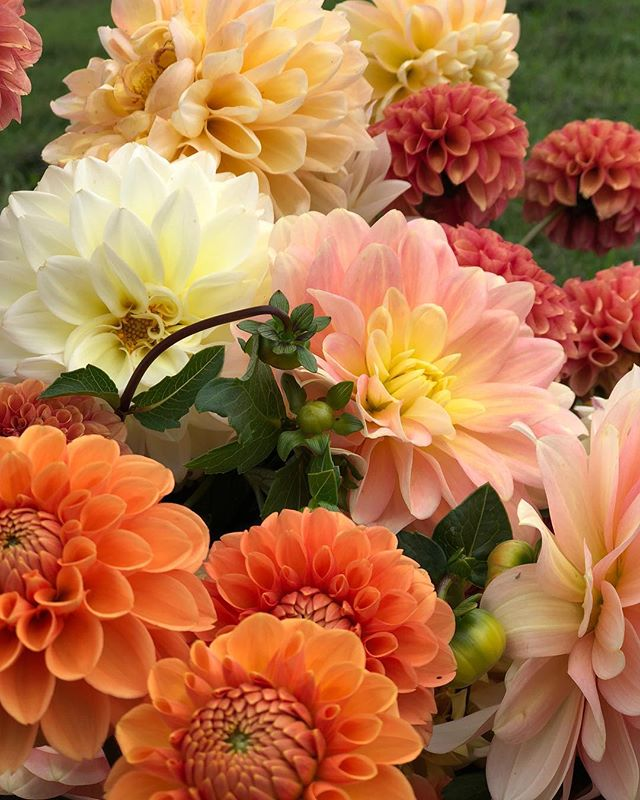 Dahlias are blooming like crazy! Can't wait to use in my weddings this weekend💐#dahlias#floraldesigner#flowerlove
