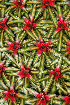A Carpet of Bromeliads