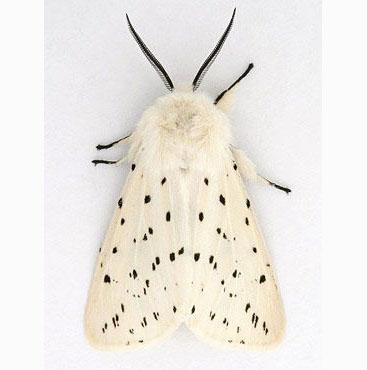0113a adult white ermine moth spilosoma lubricipeda .jpg