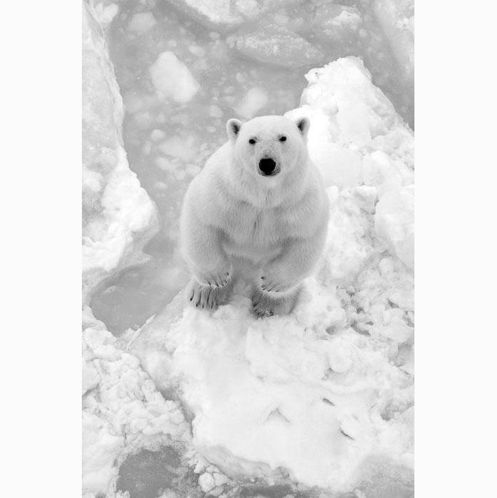 0118a polar bear barents sea norway vegard aksnes.jpg