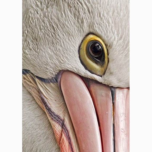 Photograph of the Eye of a Pelican, Unknown