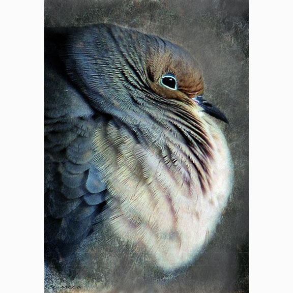 Unknown Photograph of a Mourning Dove, Zenaida Macroura (Linnaeus, 1758)