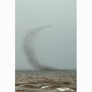 Cheryl Rose, Flock of Sandpipers, 2009