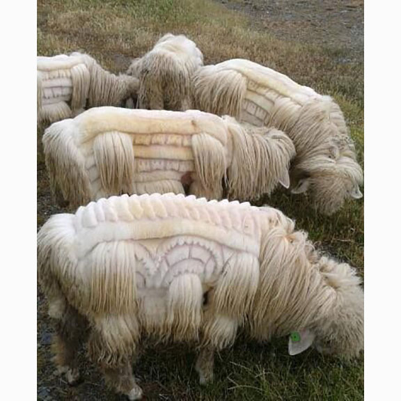 Unknown Photograph of Fancy Sheared Sheep